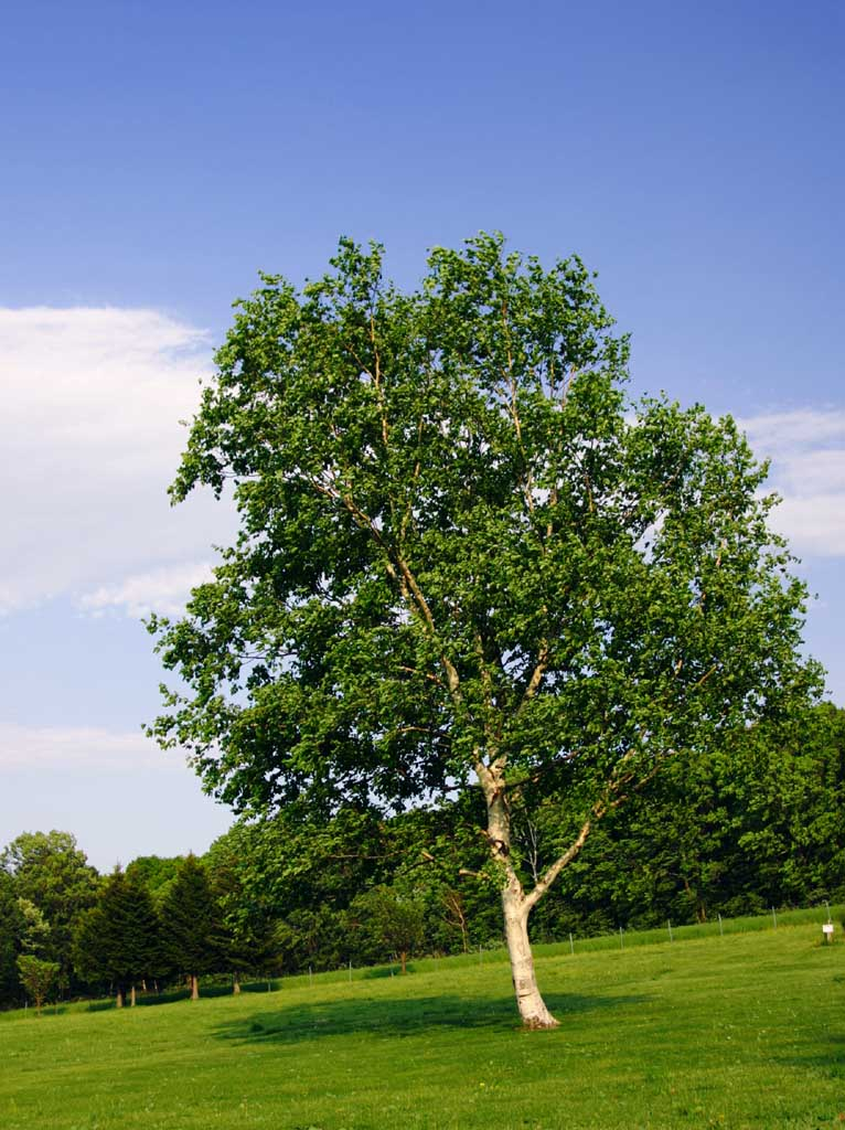 El reino plantae el abedul arbol de hoja caduca for Arboles de hoja caduca